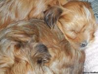 I have many beautiful puppies for sale. Morkies ,