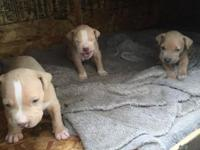 Red nose pitbulls 1 boy 2 girls please text me for more