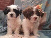 Parents are poodle (MOM) and maltipoo (DAD) 8 weeks