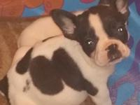 Gorgeous French bulldog puppies available from