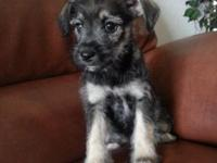 Schnauzer mix puppies. Two females, 9weeks. The are