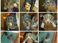 I have 7 lab/pit mix puppies that need forever homes.