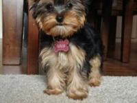 Litter: Yorkshire Terrier AKC Conditional Dam: Lexi