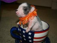 WE HAVE THE CUTEST BABY PIGS EVER, THEY WILL GROW TO