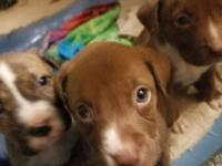 PUPPY ADOPTION FACTS: PLEASE READ! Puppies under 4 lbs