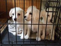 Hello re homing poodle mix puppies! With a re homing