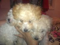 I Have 3 female poodle puppies, 10 weeks old. They have