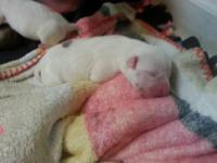 Are pure breed blue nose pit female has given birth to