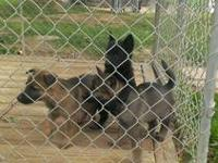 7 week old working line German Shepherd puppies for