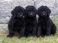 Standard Poodles Puppies. Ready for their new house.
