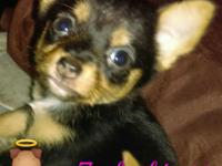 I have 3 puppies, they are 7weeks old, chihuahua mixed,