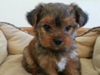 We have a darling little yorkie girl who we are keeping