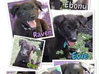 Puppies (Retriever/Lab mix)'s story This sweet litter