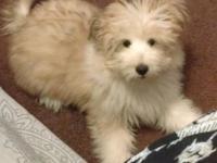 Hello I'm selling my mixed breed, Sheltie Maltese! His