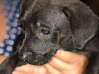 Puppy Ajay's story Urgent - Need foster or foster to