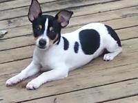 Small tricolor adorable deer head chihuahua ratterrier