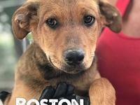 Puppy (Boston)'s story 12 week old male Catahoula/Lab