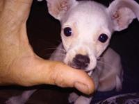 Chihuahua puppy 12 1/2 weeks old Female. She is very