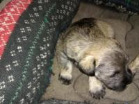 Beautiful schnauzer puppies for sale. One white female,