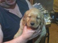 Akc. Reg. gen retriever puppy's. 8 weeks old. Vet check