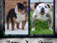 We have English bulldog puppy's due May 16th. 15. They