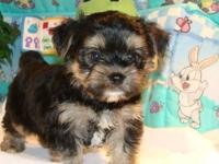 Akc yorkie puppies for sale. We have several males and