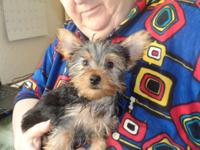 Adorable 2 boys-brothers Yorkshire Terrier young