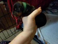 I have 1 black and tan female miniature Dachshund puppy
