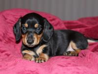 I have 1Black and Tan male smooth coat young puppies