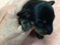 I have Black and Tan male young puppies that were born
