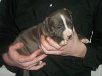 We have adorable 4 week old blue nose pit bull puppies