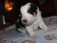 Pure Border Collie Baby Puppy. $350 cash. $50 non