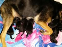 I have a litter of 7 new born German Shepherd Puppies