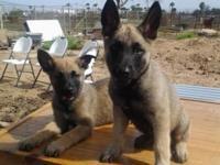 Gorgeous Puppies!!! 8 weeks old. Beautiful Markings!