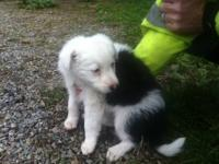 Pure Bred Border Collie Puppies for sale! We have 3