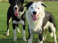I have 4 pure bred Border Collie puppies available for