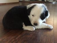 Border collie pups, ready first week of September. 7