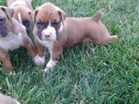 I have a litter of seven beautiful pure breed boxer