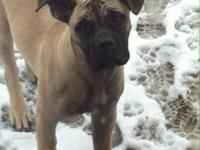 Mabel is a pure bred, fawn Cane Corso Mastiff that