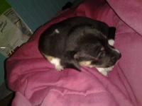 Pure bred Black female chihuahua .  I only meet in