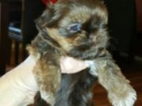 One pure bred, cute, fluffy shih-tzu puppy! She is the