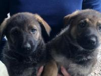Pure Bred CKC Registered German Shepherd Puppies. 8