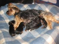 Pure bred CKC Yorkshire Terrier - 2 females left - born