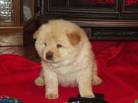 We are proud to advertise a litter of pedigree Chow