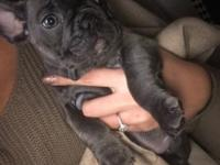 French Bulldog puppies Hi we have 8 adorable puppies 4