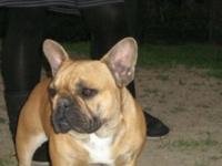 Two male purebred french bulldog, 1 x male red color, 1
