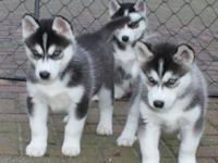 Animal Type: Dogs Breed: Siberian Husky Have you ever