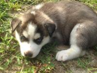 Animal Type: Dogs Breed: Siberian Husky We have pure