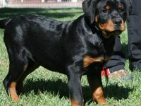 4 Month Old Pure Bred German Rottweiler Female for