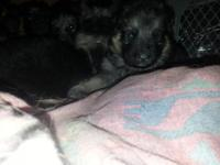 purebred german shepherd puppies,male is fully AKC